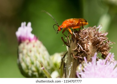 Common Red Soldier Beetle perched on a dead Thistle flower. Also known as a Bloodsucker Beetle. Taylor Creek Park, Toronto, Ontario, Canada.