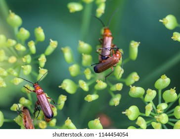 common red soldier beetle (Rhagonycha fulva), also known as the bloodsucker beetle or Hogweed Bonking Beetle
