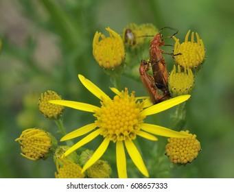 Common Red Soldier Beetle - Rhagonycha fulvaPair mating on Ragwort
