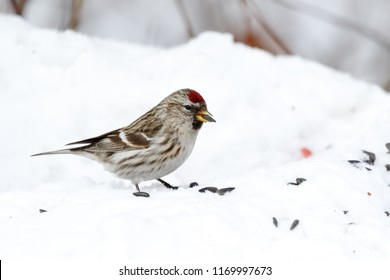 Common redpoll (Acanthis flammea).