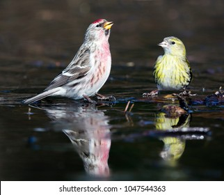 Common redpoll (Acanthis flammea) and Eurasian siskin (Spinus spinus) at an ice hole in Lage Vuusche (the Netherlands)
