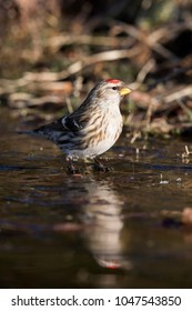 Common redpoll (Acanthis flammea) at an ice hole in Lage Vuusche (the Netherlands)
