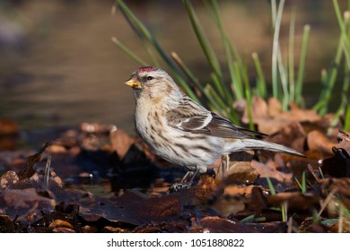 Common redpoll (Acanthis flammea) in Lage Vuusche (the Netherlands)