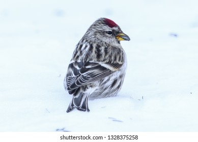 Common redpoll standing in the snow with a seed in its mouth - taken in winter in the Sax-Zim Bog in Northern Minnesota