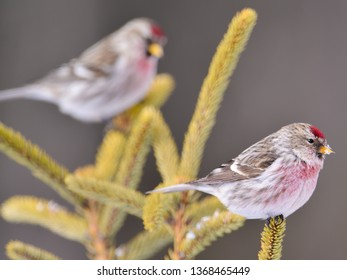 Common redpolls perched on coniferous evergreen tress in winter in the Sax-Zim Bog in Northern Minnesota