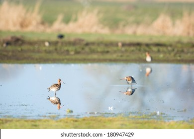 Common Redshank in nature lake