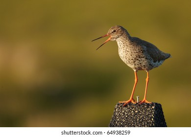 Common Redshank on a pole