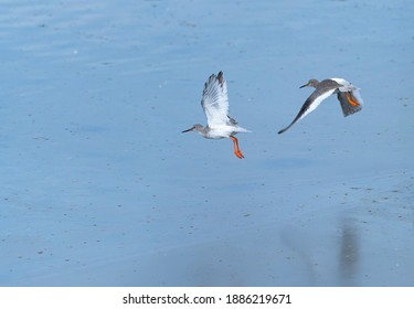 Common redshank or simply redshank (Tringa totanus) Marshes of Bengoa within Santoña, Victoria y Joyel wetlands Natural Park by thwe Cantabrian Sea in Cantabria Autonomous Community of Spain, Europe