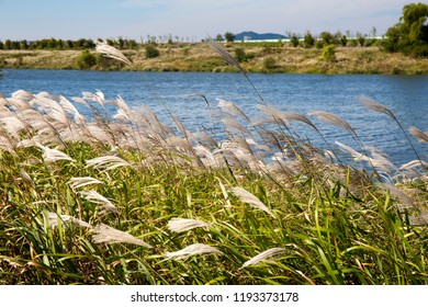 Common reed along side rive in blue sky