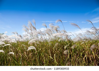 Common reed and blue sky