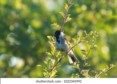 A common reed bunting Emberiza schoeniclus with caterpillars in his beak to feed juveniles