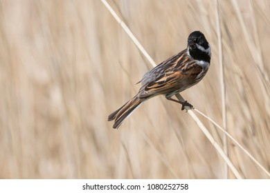 Common reed bunting (Emberiza schoeniclus) sitting on reed