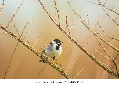 A common reed bunting Emberiza schoeniclus sings a song. The reed beds waving due to strong winds in Spring season on a cloudy day.