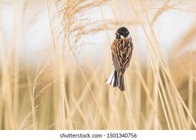 A common reed bunting Emberiza schoeniclus sings a song on a reed plume Phragmites australis. The reed beds waving due to strong winds in Spring season on a cloudy day.