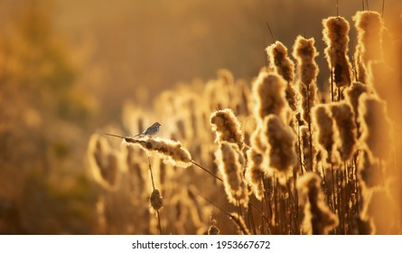 A common reed bunting Emberiza schoeniclus sitting on a reed in the morning mist and singing at sunrise, the best photo. - Shutterstock ID 1953667672