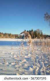 common reed covered with snow. the plant covered with snow.  winter landscape