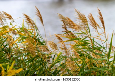 Common reed grass blowing in the wind at the Maritsa riverbank, Zlato Pole or Gold Field Protected Area, Municipality of Dimitrovgrad,Haskovo Province, Bulgaria, selective focus - Shutterstock ID 1630132330