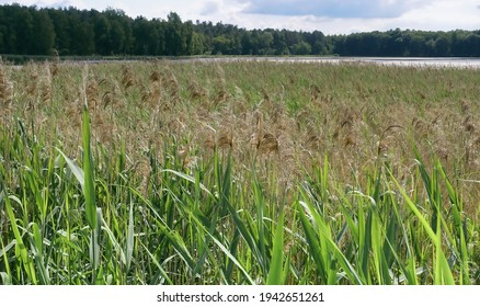 Common reed growing on the shores of the water reservoir. Nature landscape in summer