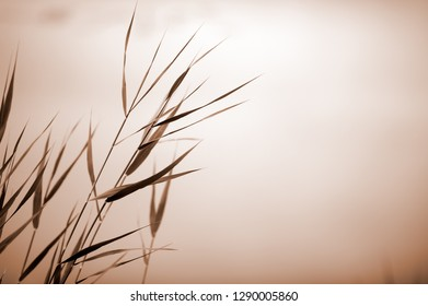 Common reed (Phragmites australis). Selective focus and very shallow depth of field. Duotone.
