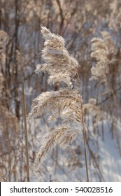The common reed. Phragmites communis. winter