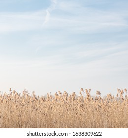 Common reed seed heads in winter and blue sky background. Copy space for text. Phragmites australis