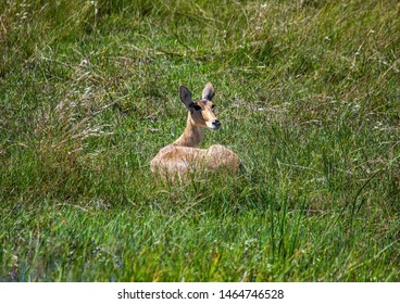 A Common Reedbuck female is laying in the savannah grass of the Bwabwata Nationalpark at Namibia during summer