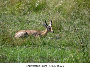 A Common Reedbuck male is laying in the savannah grass of the Bwabwata Nationalpark at Namibia during summer