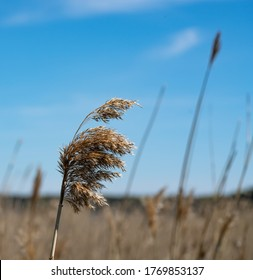 Common reeds at the coast of Baltic sea. Dry reeds in the wind. Main vegetation of Baltic sea shores.