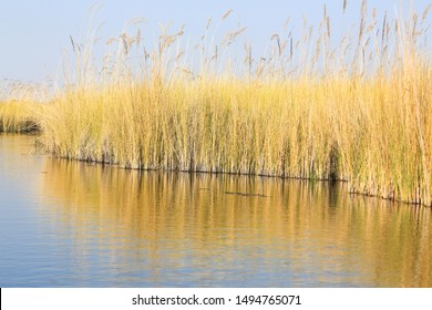 Common reeds (Phragmites australis) in Moremi, Okavango Delta, Botswana. Reeds can form extensive stands, or reed beds, which may cover several square km.