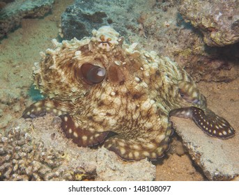 Common reef octopus underwater camouflaged on tropical coral