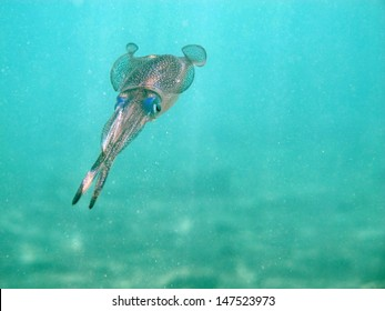 Common reef squid (Sepiotheutis lessoniana) flying in turquoise blue water, close to the surface in beautiful lagoon