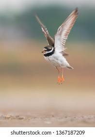Common ringed plover in flight. (Charadrius hiaticula)