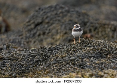 Common ringed plover. Small sea bird with orange and black beak. Orange legs and feet. Perched on a a bed of sea weed. Latin name Charadrius hiaticula