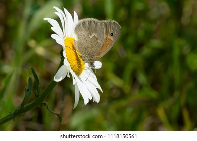 Common Ringlet Butterfly collecting nectar from an ox-eye daisy flower. Also known as a Large Heath Butterfly. Carden Alvar Provincial Park, Kawartha Lakes, Ontario, Canada.