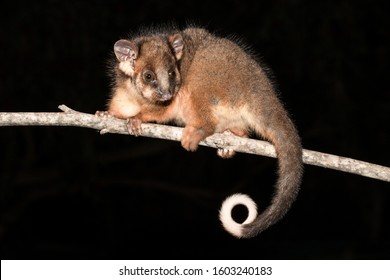Common Ringtail Possum on tree limb