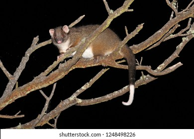 Common ringtail possum (Pseudocheirus peregrinus) in a tree at night