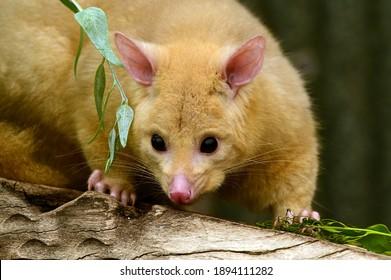 Common ringtail possum (Pseudocheirus peregrinus) female looking away from camera.