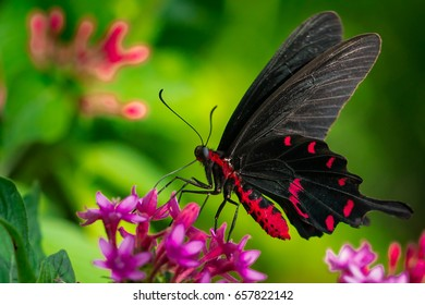 Common rose north American swalllowtail butterfly