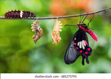 Common Rose (Pachliopta aristolochiae) butterfly life cycle from caterpillar to pupa and its adult form
