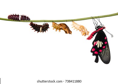 Common Rose (Pachliopta aristolochiae) butterfly life cycle from caterpillar to pupa and its adult form, isolated on white background with clipping path