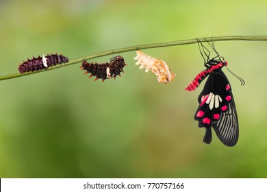 Common Rose (Pachliopta aristolochiae) butterfly life cycle from caterpillar to pupa and its adult form, isolated on nature background with clipping path