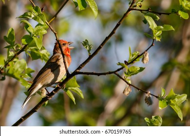 Common Rosefinch bird sings on the branches