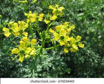 Common rue with flowers, Ruta graveolens, in garden