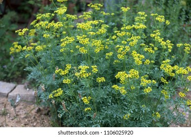 common rue or herb of grace (Ruta graveolens) herbal plant in the garden, selected focus, narrow depth of field