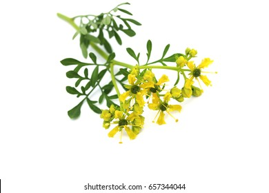 Common rue (Ruta graveolens). Rue has a long history of use as a domestic remedy, being especially valued for its strengthening action on the eyes.