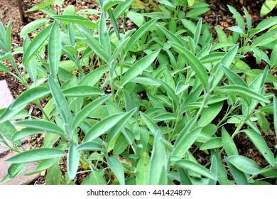 Common sage herb garden