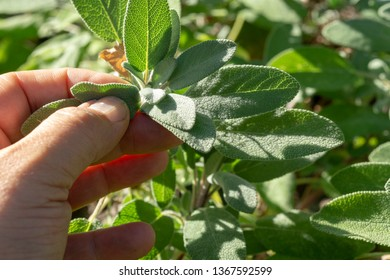 Common Sage (Salvia officinalis) aromatic herb and spice. Hand pick up salvia plant