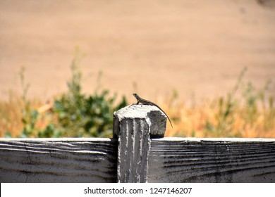 Common Sagebrush Lizard Perched on White Picket Fence in Southern California Desert