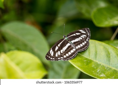 Common Sailer (Neptis hylas) perching on plant