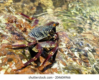 A common sally-light-foot (shore-crab, grapsidae, crustacean) at the surface